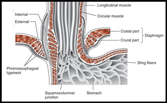 diagram of the lower esophageal sphincter wiring diagram Diagram Of The Lower Esophageal Sphincter easy notes on 【lower esophageal
