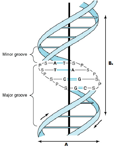 The Adjoining Diagram Denotes The Double Helix Structure Of Dna